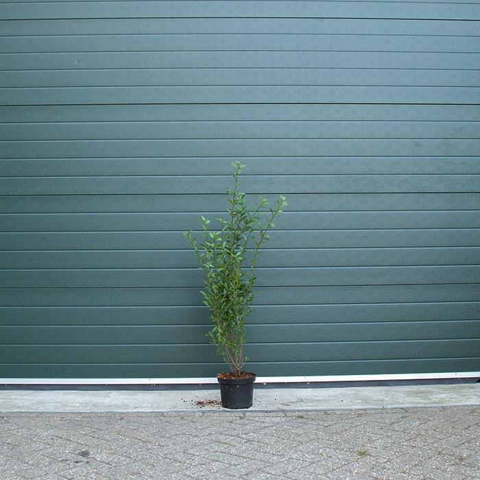 Ligusterhaag 80 cm