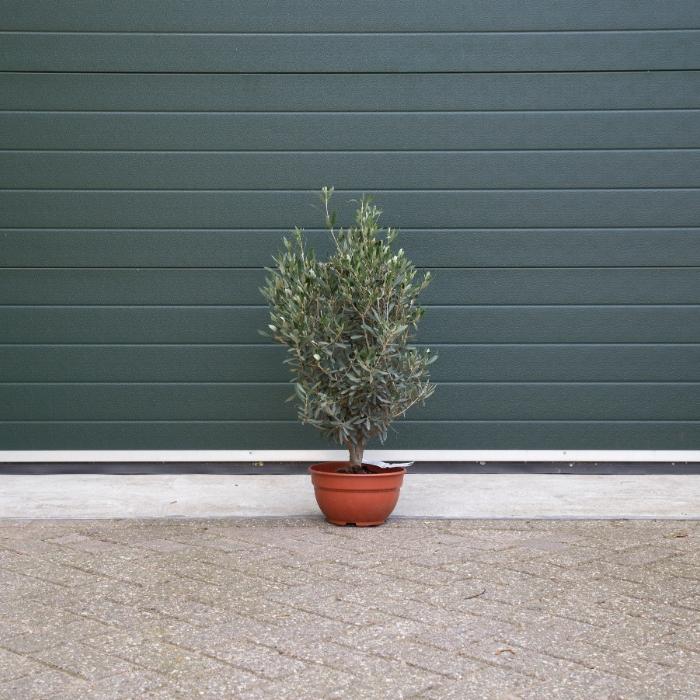 Olijfboom struikje