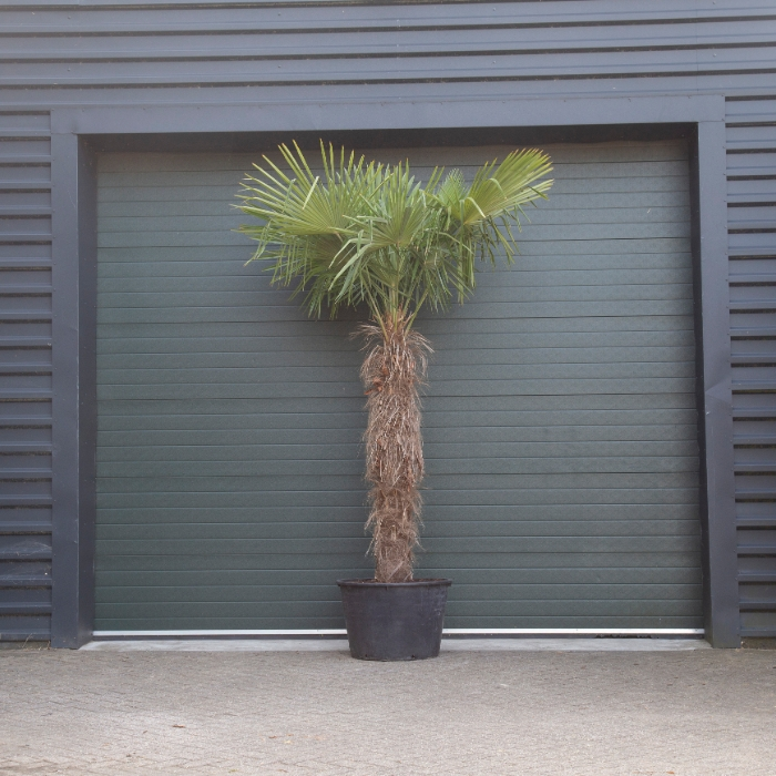 Chinese waaierpalm 180 cm stamhoogte