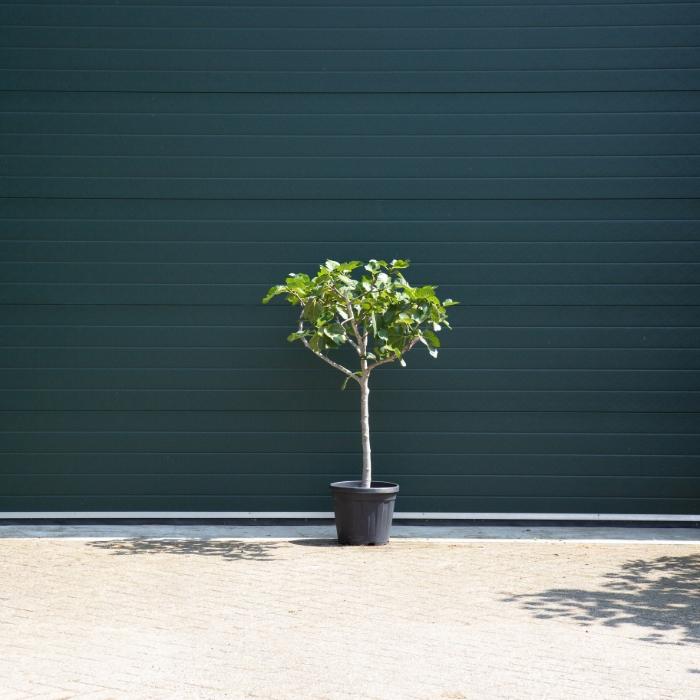 Vijgenboom 10/12 cm