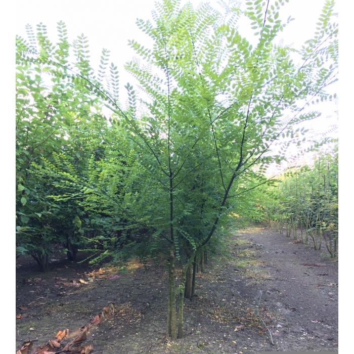 Honingboom meerstammig