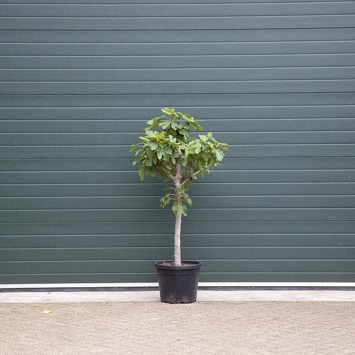 Vijgenboom 14/16 cm