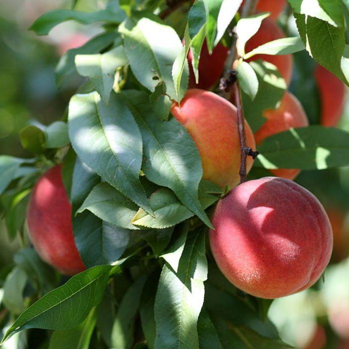 Nectarine 'Mme Blanchet' als leiboom