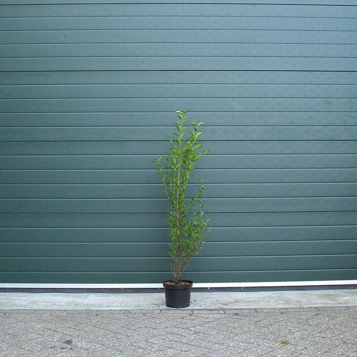 Ligusterhaag 100 cm