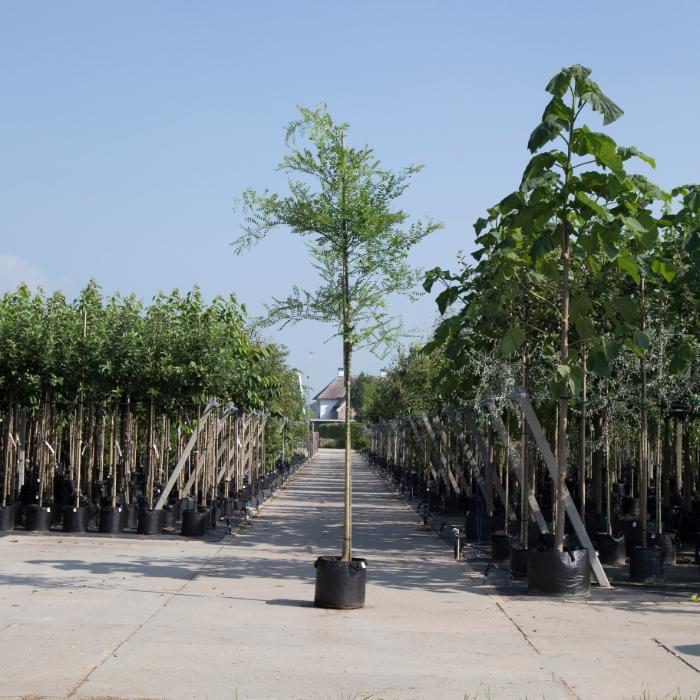 Honingboom
