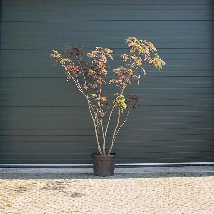 Rode Perzische slaapboom meerstammig