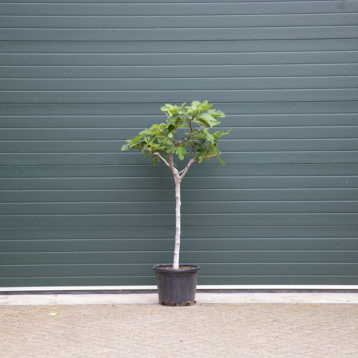 Vijgenboom 12/14 cm