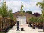 Platanenboom