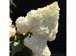 Hortensia 'Vanille Fraise' hoogstam