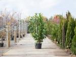 Laurierhaag 'Rotundifolia'