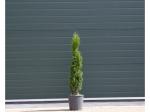 Italiaanse cipresboom 80 cm