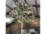 Magnolia grandiflora als leiboom 180 cm