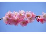 Japanse sierkers als leiboom 180 cm