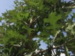 Moeraseik als leiboom 180 cm