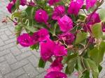 Bougainvillea glabra 'Alexandra' op stam