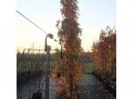 Zuil amberboom