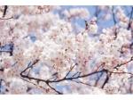 Japanse sierkers 'Yedoensis'