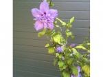 Hibiscus 'Marina'