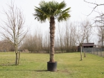 Chinese waaierpalm 260 cm stamhoogte