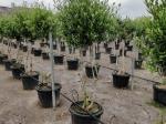 Olijfboom meerstammig