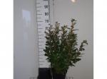 Olijfwilg haag 60 cm