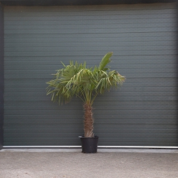 Chinese waaierpalm 70 cm stamhoogte