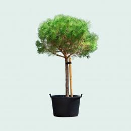Pinus pinea (Parasolden)