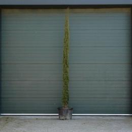 Italiaanse cipresboom 300 cm