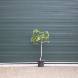 Vijgenboom 8/10 cm