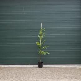 walnotenboom 'Coenen'