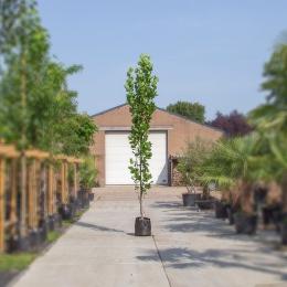 Zuil tulpenboom