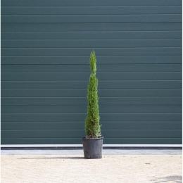 Italiaanse cipresboom 100 cm