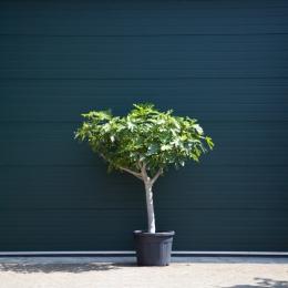 Vijgenboom 20/25 cm