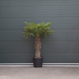 Chinese waaierpalm 100 cm stamhoogte