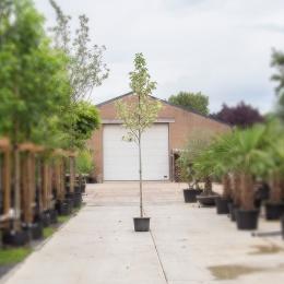 Bontbladige amberboom