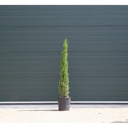 Italiaanse cipresboom 125 cm