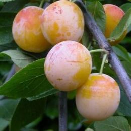 Prunus D. Mirabelle de Nancy