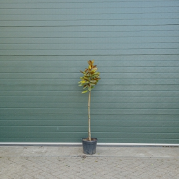 Magnolia grandiflora halfstam