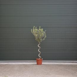 Olijfboom spiraalvorm