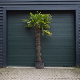 Chinese waaierpalm 220 cm stamhoogte