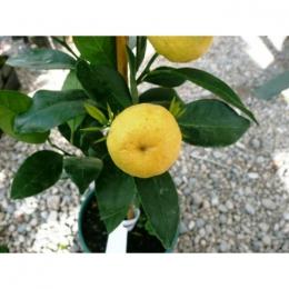 Zoete citroen boom