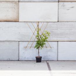 Prunus a. 'Morelle' als leiboom