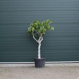 Vijgenboom 18/20 cm