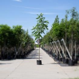 Zwarte walnotenboom
