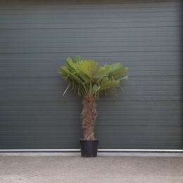 Chinese waaierpalm 90 cm stamhoogte