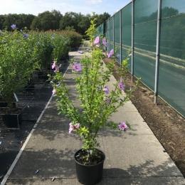 Hibiscus 'Woodbridge' solitair