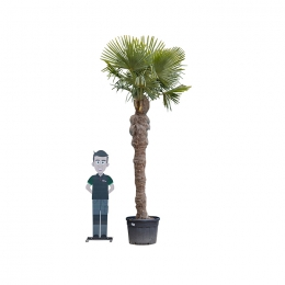 Chinese waaierpalm 230 cm stamhoogte