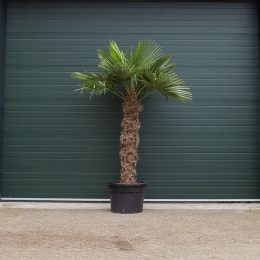 Chinese waaierpalm 130 cm stamhoogte