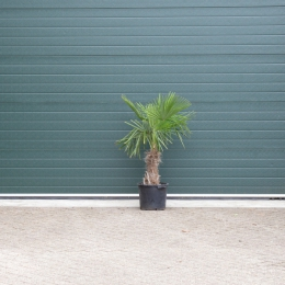 Chinese waaierpalm 30 cm stamhoogte