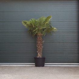 Chinese waaierpalm 120 cm stamhoogte